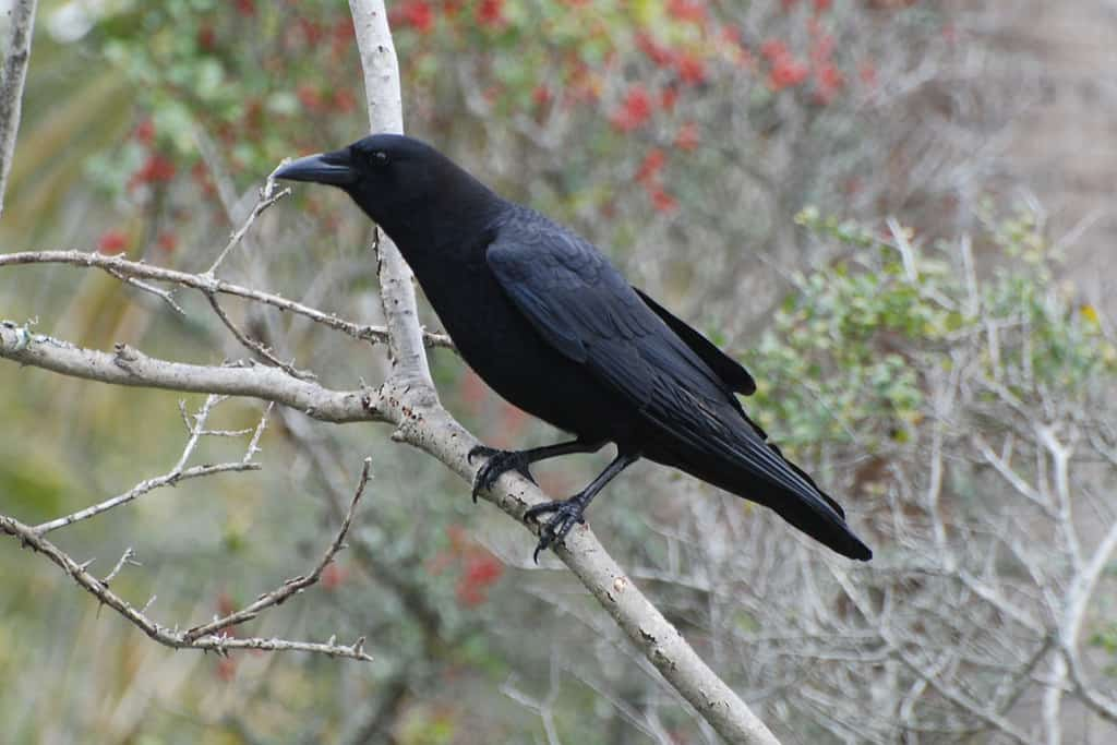 5 Crow Hunting Tips and 5 Crow Hunting Mistakes—Dos and Don'ts