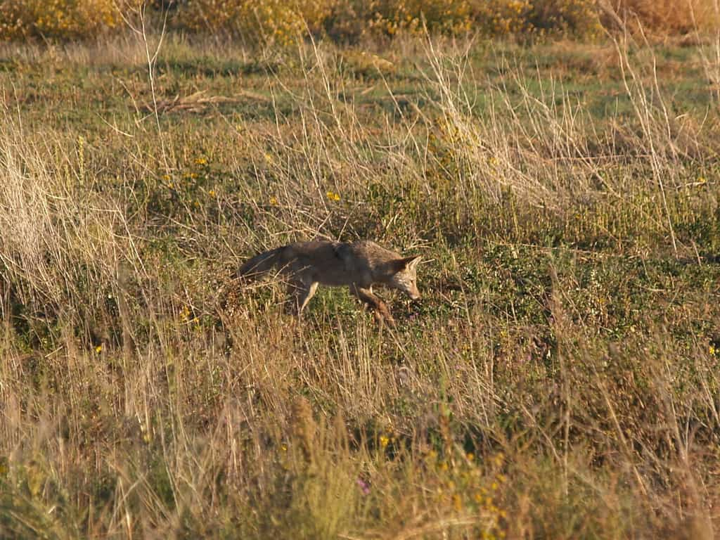 7 Coyote Hunting Tips That Will Help You Avoid Rookie Mistakes