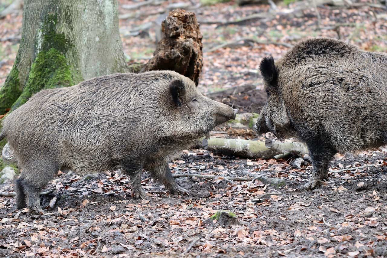 How to Hunt Wild Boars 8 Tips for Everyone, Beginner to Advanced
